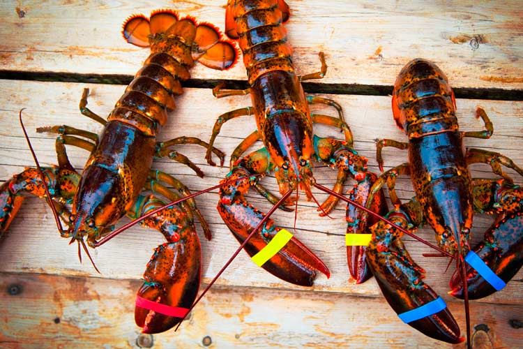 Freshly Caught Lobsters off the shores of North America