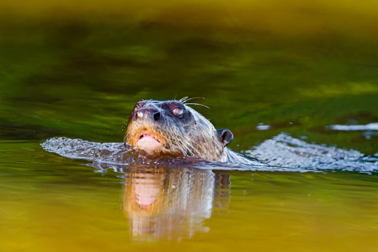 Giant Otter Swimming