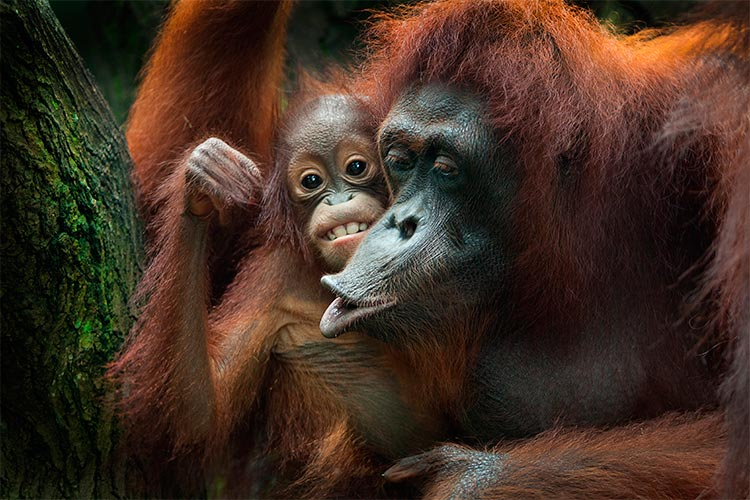 Orangutans of Borneo and Sumatra