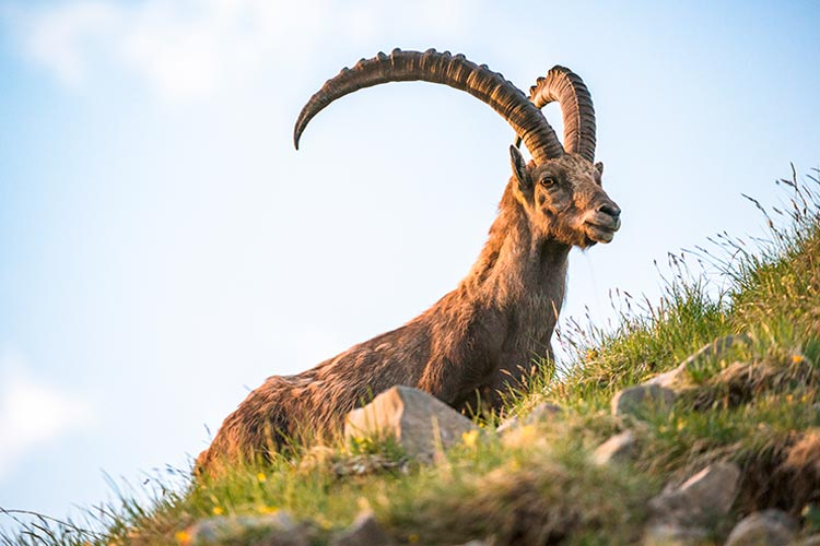 Alpine Ibex on Brienzer Rothorn, Switzerland