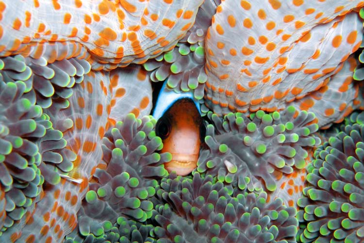 Anemone Fish on the Great Barrier Reef
