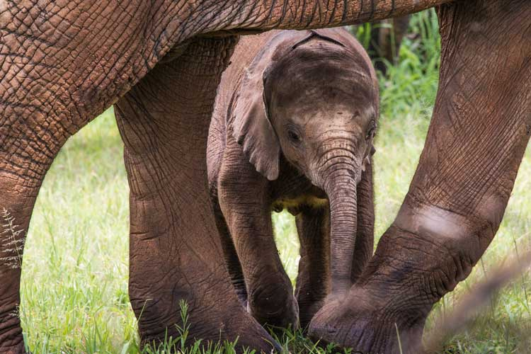 Baby African Elephant Calf in Kruger National Park