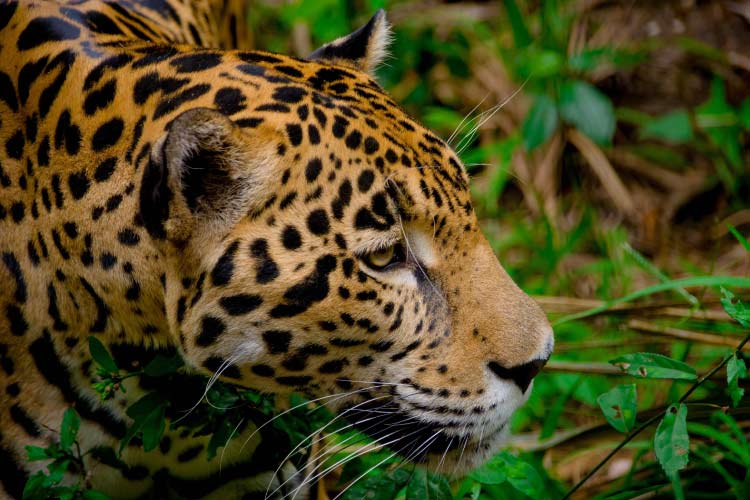 Jaguar in the jungles of Panama, the spectacular Wildlife of Central America