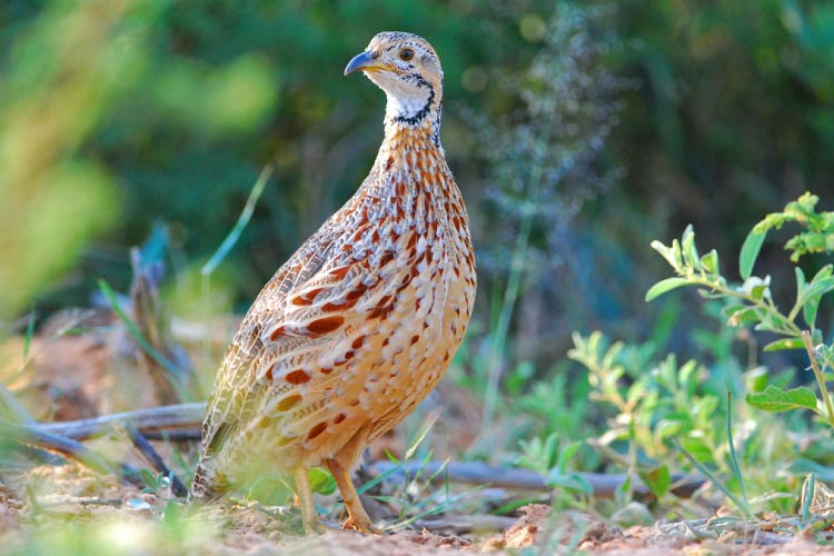 Orange River Francolin