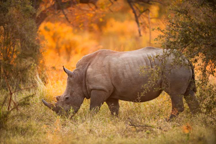 Rhinoceros in late afternoon, Kruger National Park one of the best game parks in Africa