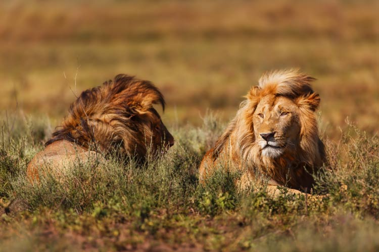 Two large lions in the long grass in the Ngorongoro Conservation Area, Tanzania