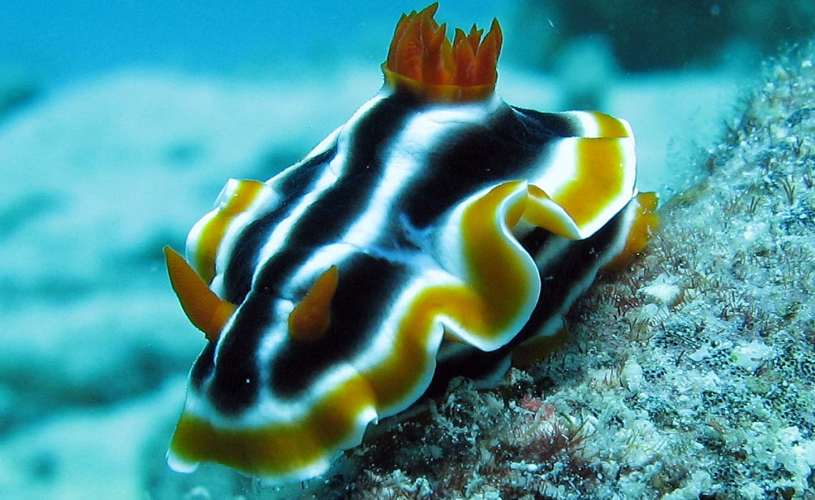 Elisabeths Chromodoris