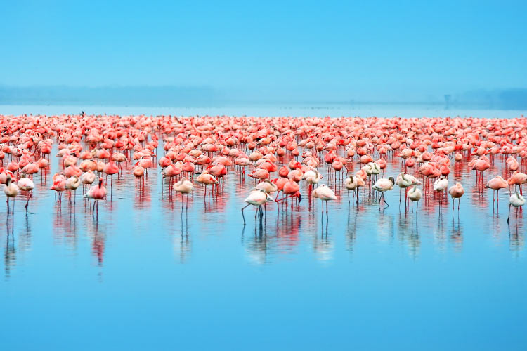 Flocks of flamingo at Lake Nakuru, Kenya