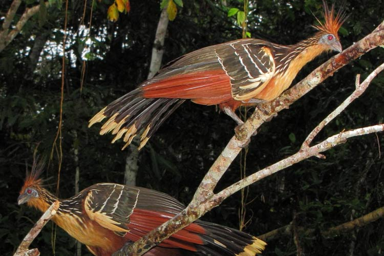 Hoatzins in Yasuni National Park, Amazon, Ecuador