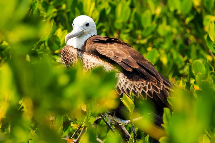 Juvenile Frigate bird on Contoy Island National Park