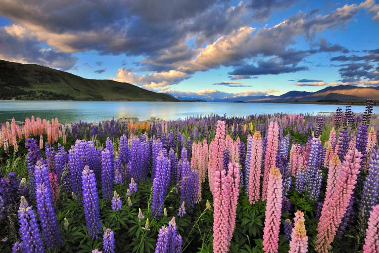 Lupins on the shore of Lake Tekapo