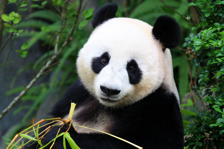 Panda Bear eating bamboo shoot in China
