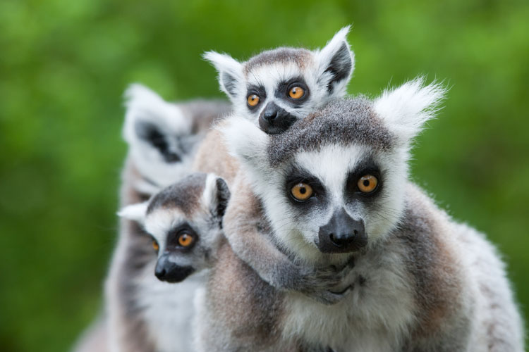 Ring-tailed Lemurs in Madagascar, one of the most biodiverse countries on earth