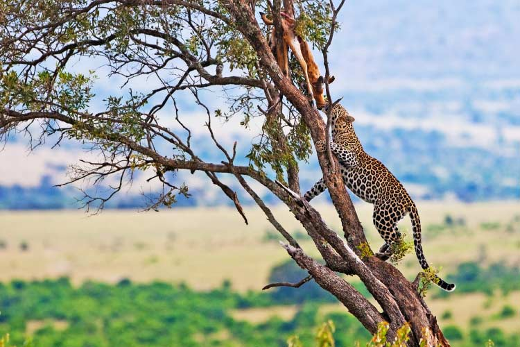 Wild leopard with its prey, an impala antelope on a tree in Maasai Mara, Kenya