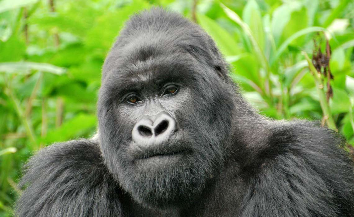 Silverback Gorilla in Volcanoes National Park, Rwanda