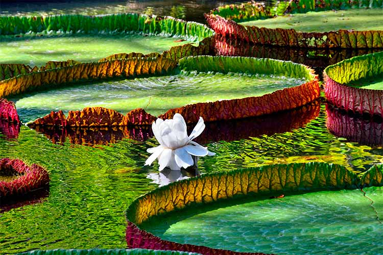 Giant Amazonian lily