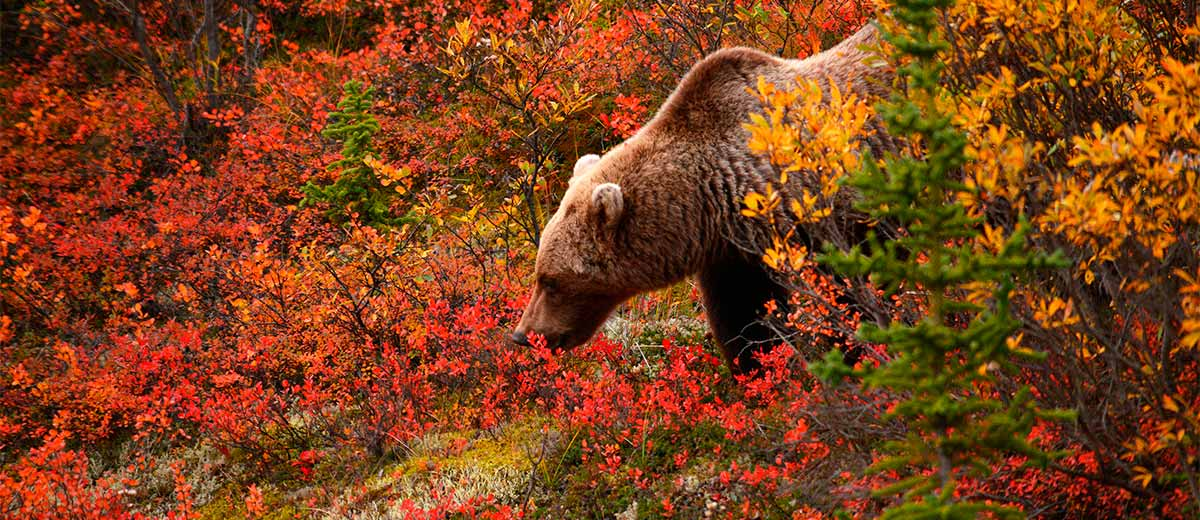 Alaskan Grizzly looking for food in autumn