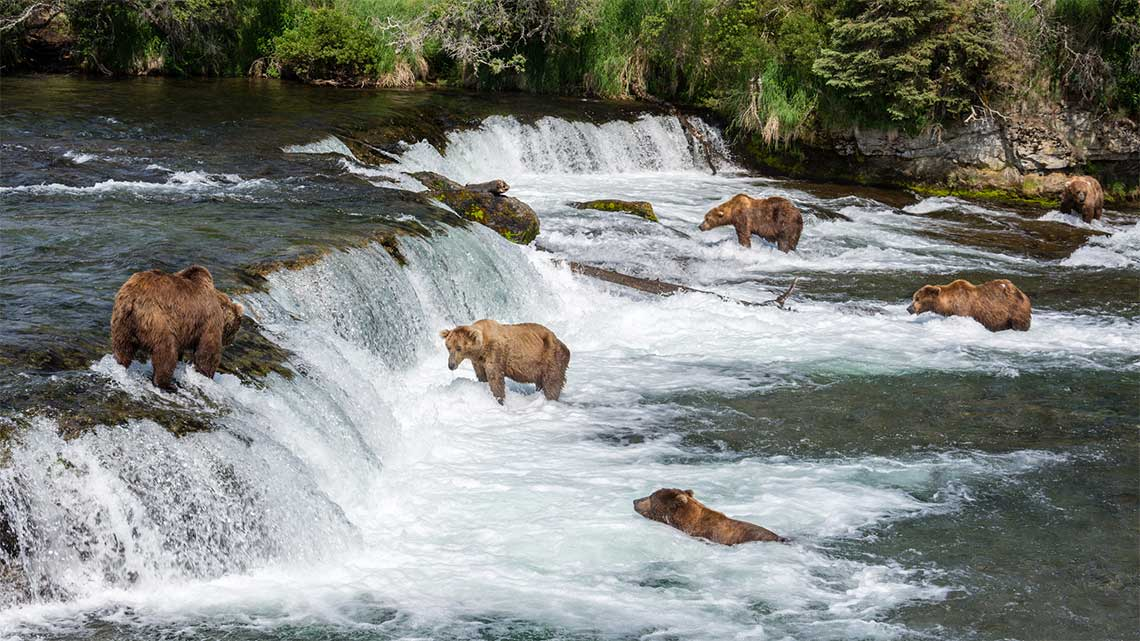 Brown Bears at Brooks Falls, Katmai National Park