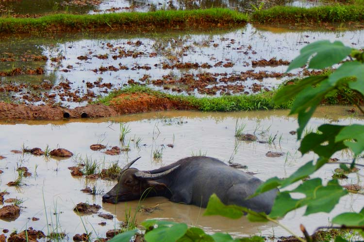 Buffalo cooling down in a Rice Paddy