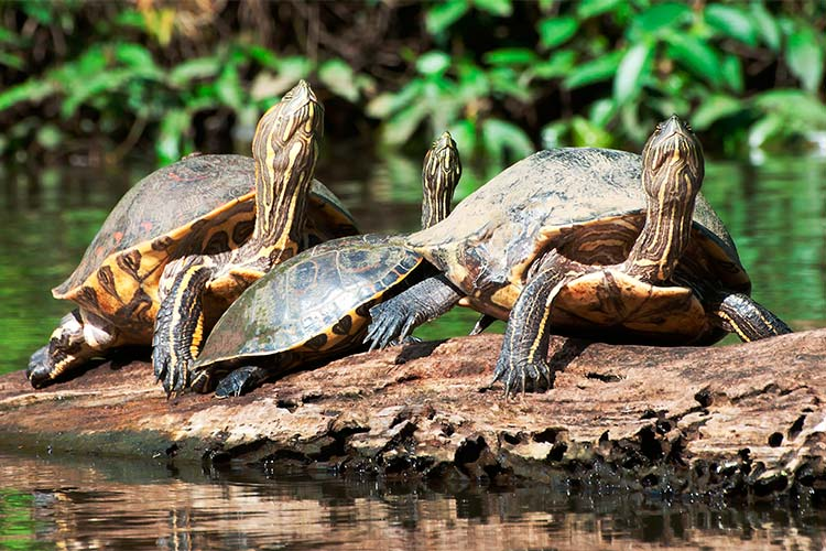 Common Slider Turtles in Tortuguero National Park, Costa Rica