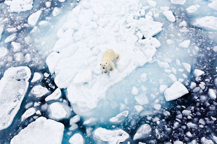 Polar bear in Spitsbergen, Norway