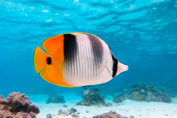 Snorkling tour with tropical fish, French Polynesia