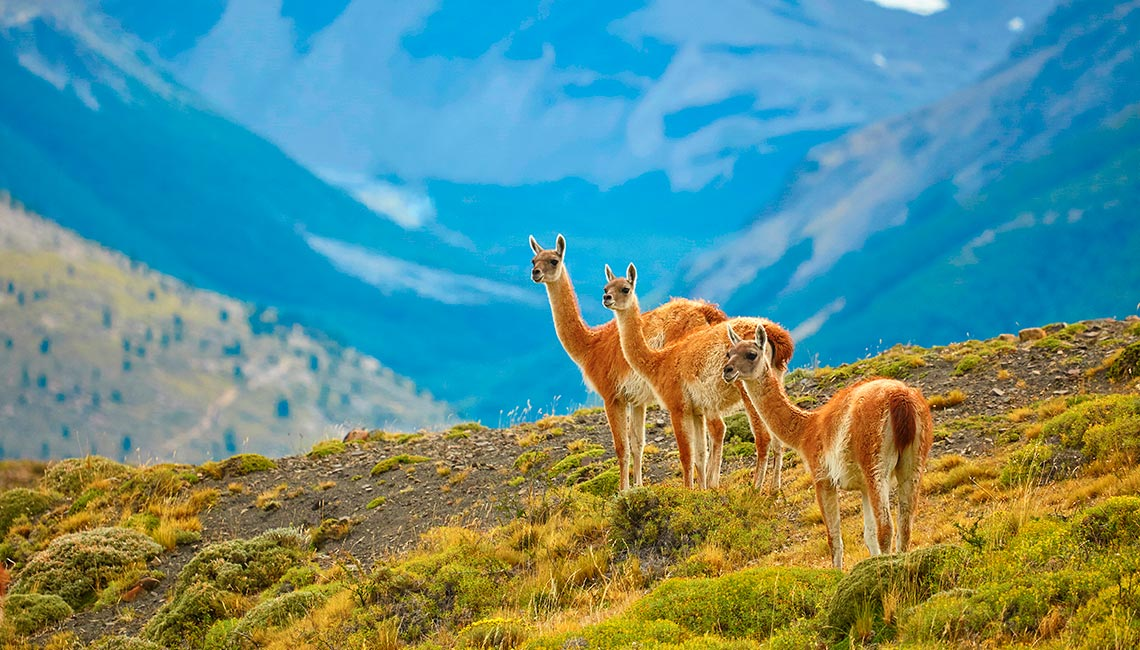 Three guanacoes in Patagonia