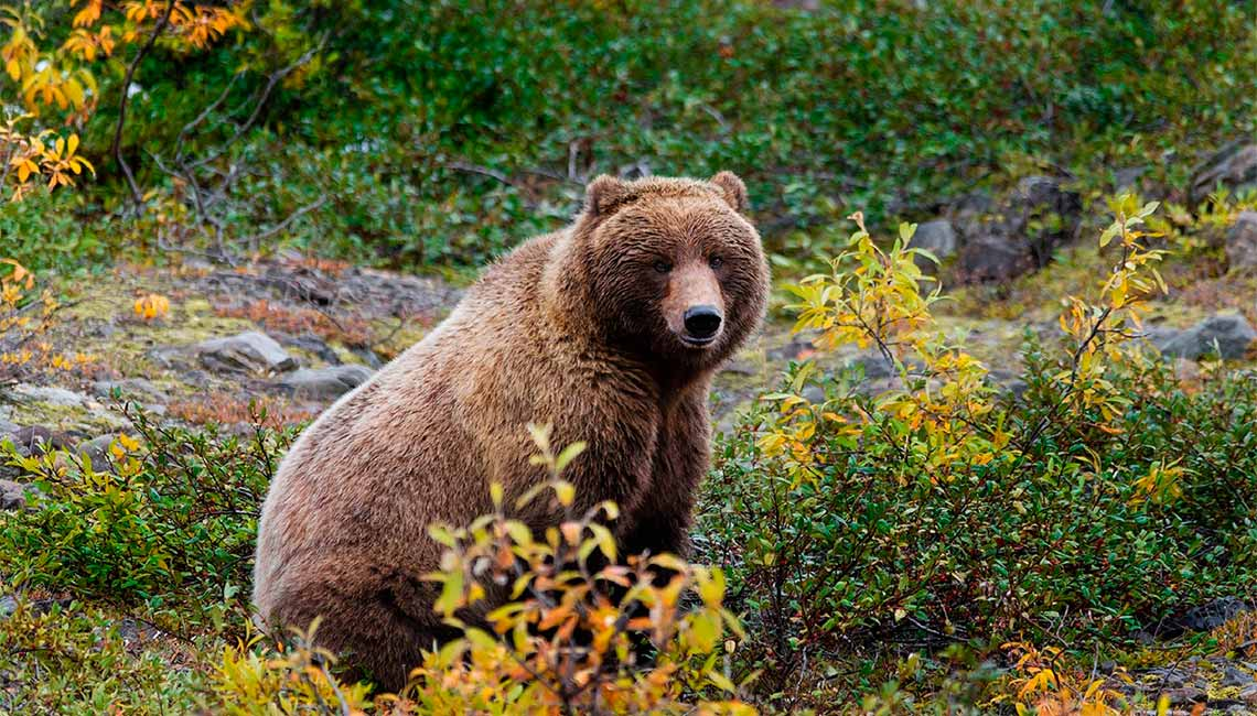 Grizzly Bear in the Bush