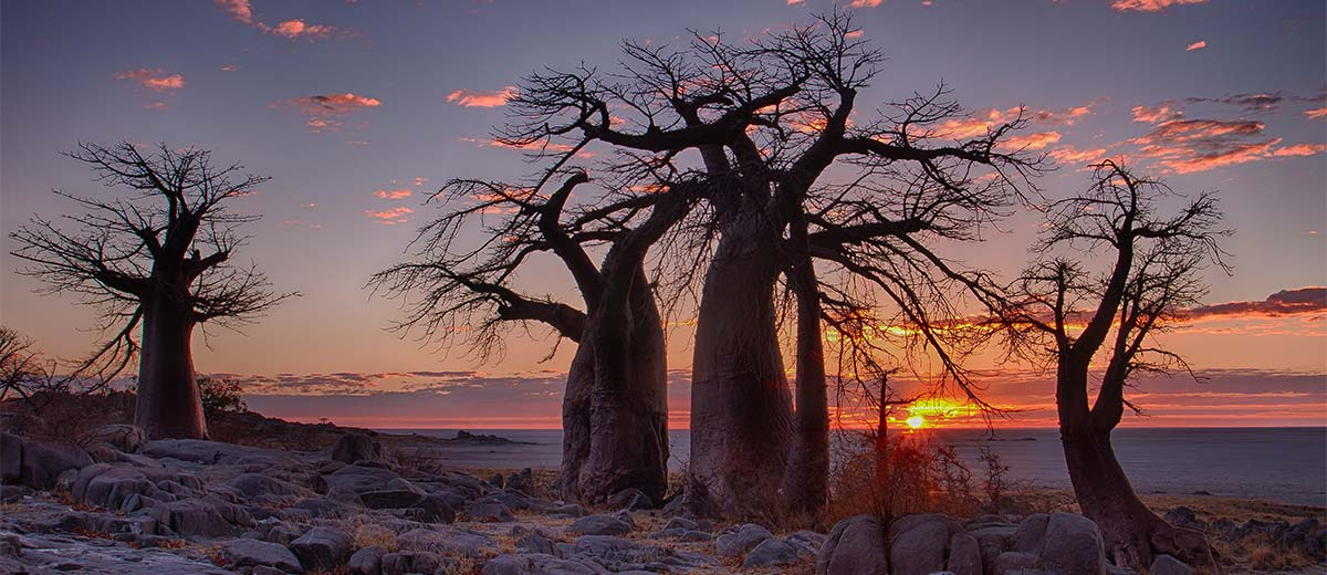 Sunrise with Baobab trees in foreground at LeKubu island, Botswana