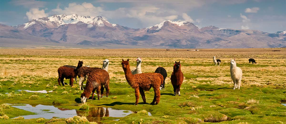 Llamas, Bolivian altiplano with Andean volcanoes