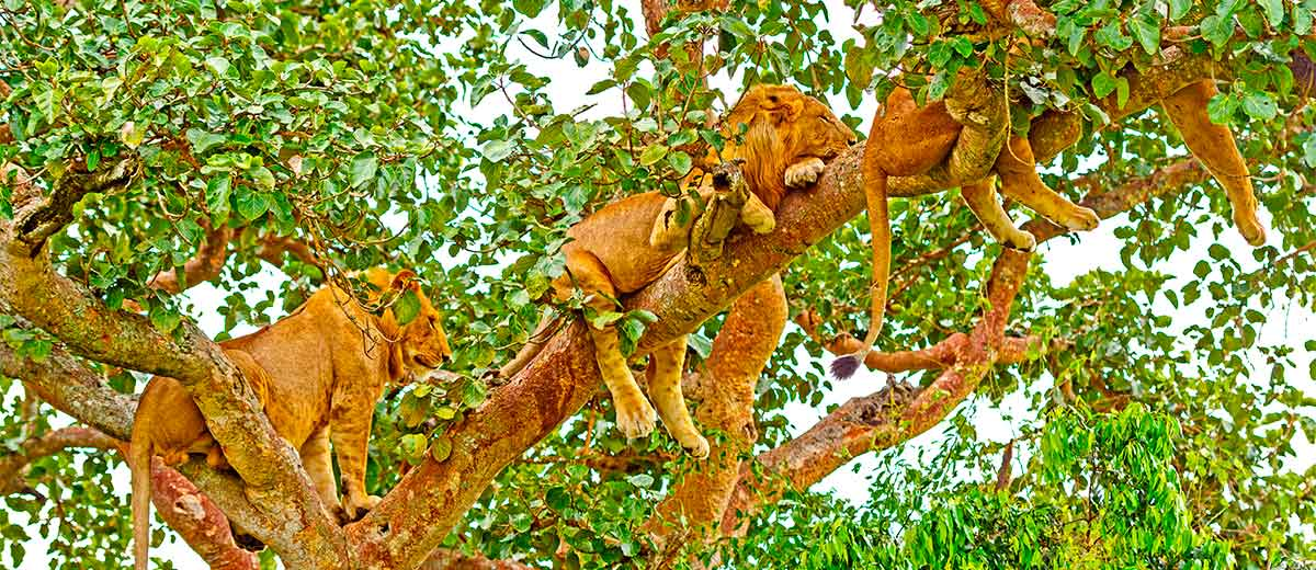 Young Lions Resting in a Tree in Queen Elizabeth National Park, Uganda