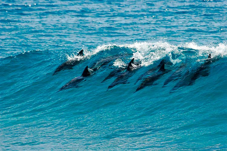 A pod of dolphins catch a wave in Mozambique