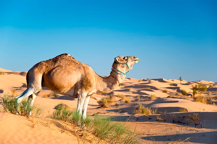 Camel in the Sand dunes desert of Sahara, South Tunisia