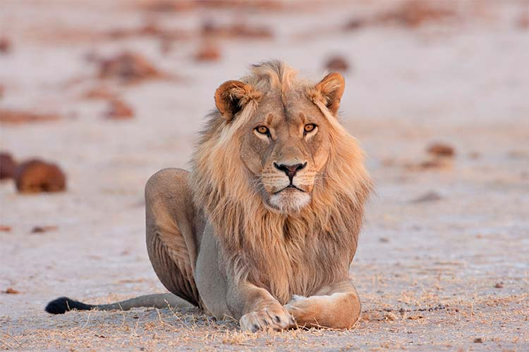 Male Lion, Nxai Pans National Park, Botswana