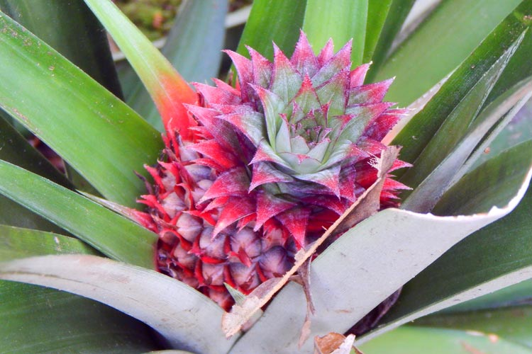Pineapple Plant in the Forests of Borneo