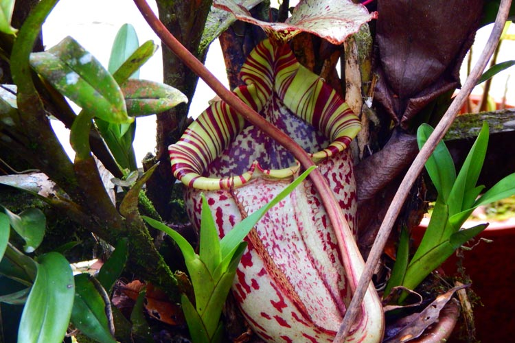 Pitcher plant in Bako National Park
