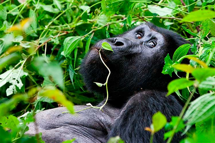 Great Silverback Mountain Gorilla, in the Bwindi National Park in Uganda