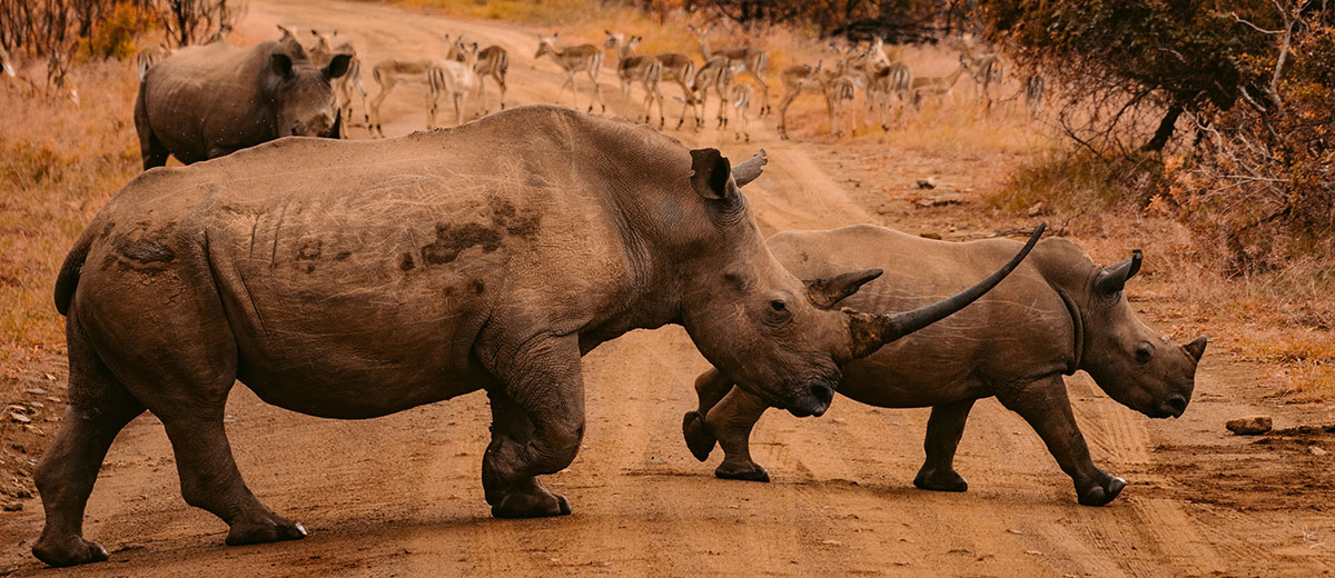 Rhino Cow with Calf in South Africa