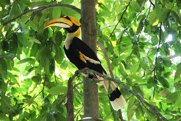 Big Hornbill on a Trip through the Langkawi Rainforest in Malaysia
