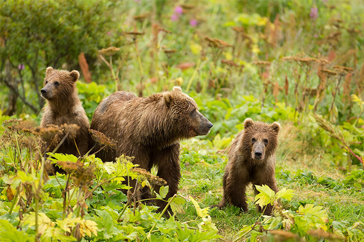 Sow and cubs in Kodiak National Wildlife Refuge