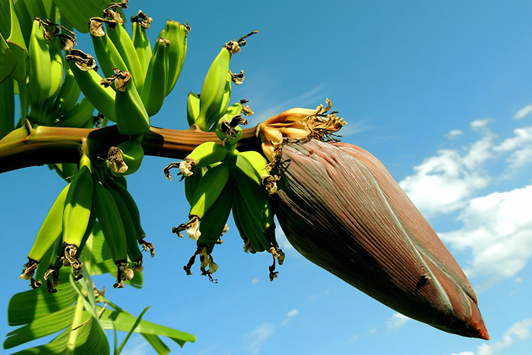 Banana tree with bananas in the early stage of their development