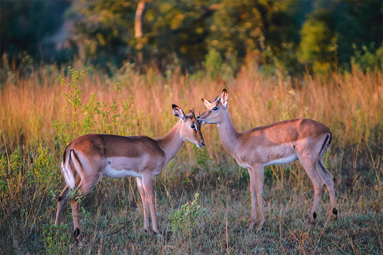 Antelope in Sabi Sands Game Reserve, South Africa