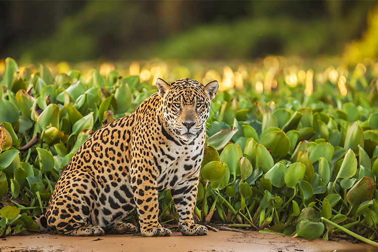 Jaguar on the banks of the Amazon in Brazil