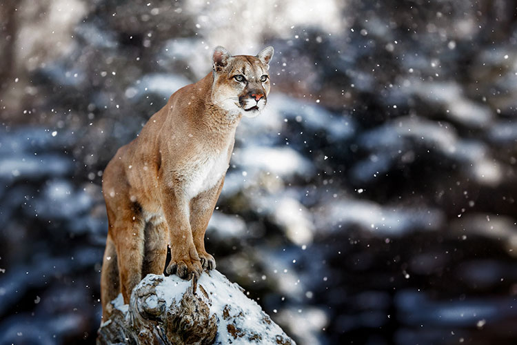 Adult cougar in winter