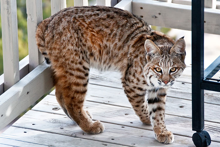 Bobcat on porch in New Mexico