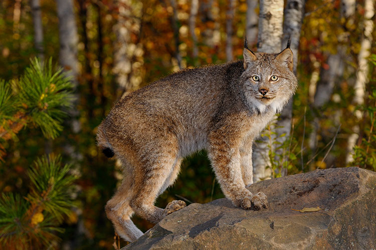 Canadian Lynx standing on a rock in a birch forest in Autumn at sunrise