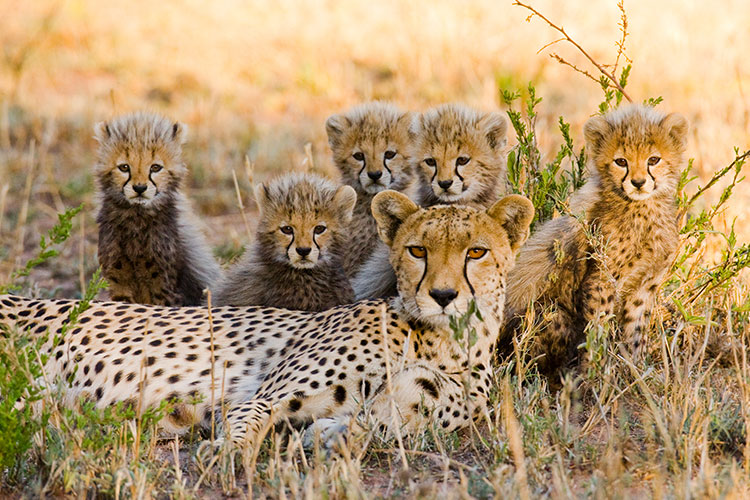 Cheetah mother and her cubs in the savannah, Tanzania