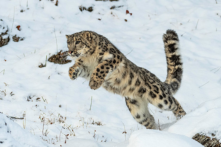 Snow Leopard hunting in the Himalayas