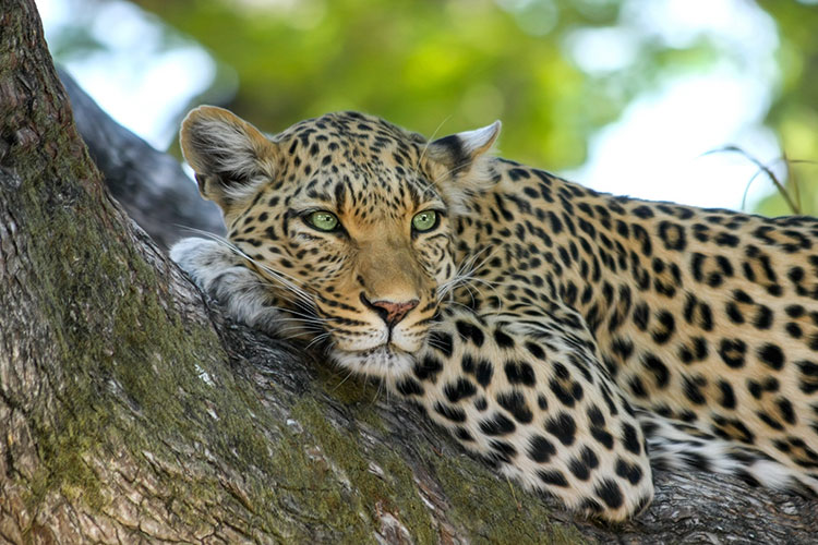 Young leopard chilling in a tree
