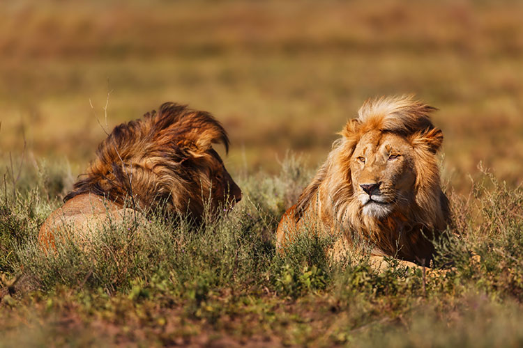 Two male lions in Ngorongoro Conservation Area, Tanzania